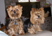 Polo and Tiffany, Yorkshire terriers, reference photo No. 2
